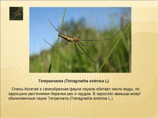 Очень богатая и своеобразная фауна пауков обитает около воды, по заросшим рас
