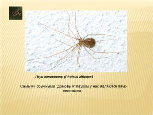 """Самыми обычными """"домовым"""" пауком у нас являются паук-сенокосец Паук-сенокосец"""