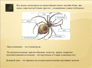 Все пауки, несмотря на их разнообразие имеют паучий облик: два овала, один вс