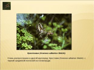 Очень распространен и другой кругопряд: Крестовик (Araneus adiantus Walck). с