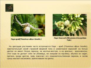 На цветущих растениях часто встречается Паук – краб (Thomisus albus Gmelin),