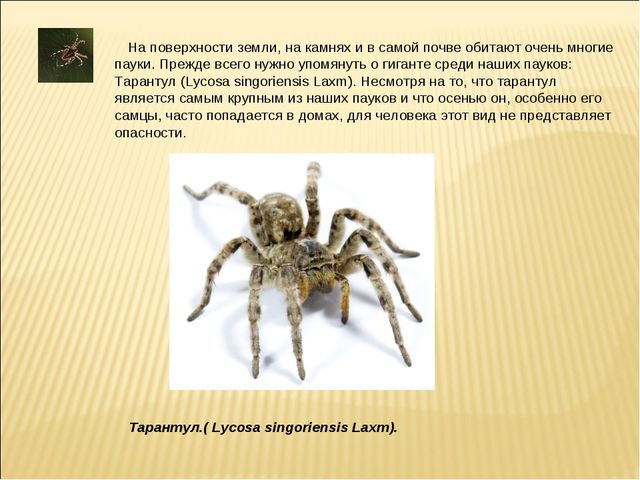 На поверхности земли, на камнях и в самой почве обитают очень многие пауки....