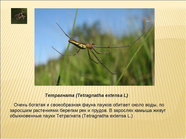 Очень богатая и своеобразная фауна пауков обитает около воды, по заросшим рас...