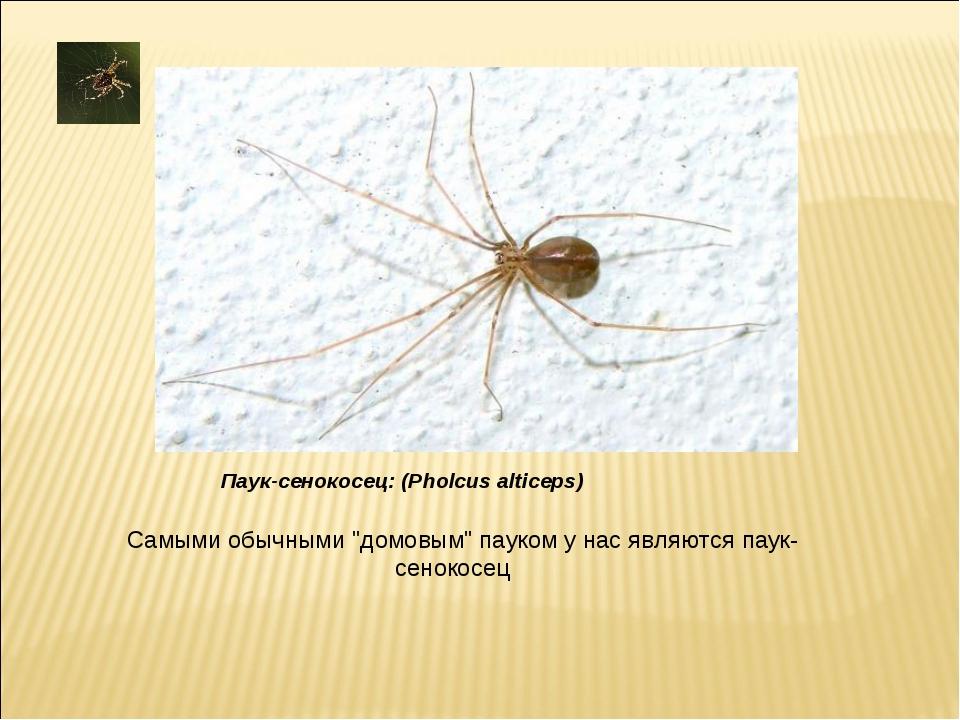 """Самыми обычными """"домовым"""" пауком у нас являются паук-сенокосец Паук-сенокосец..."""