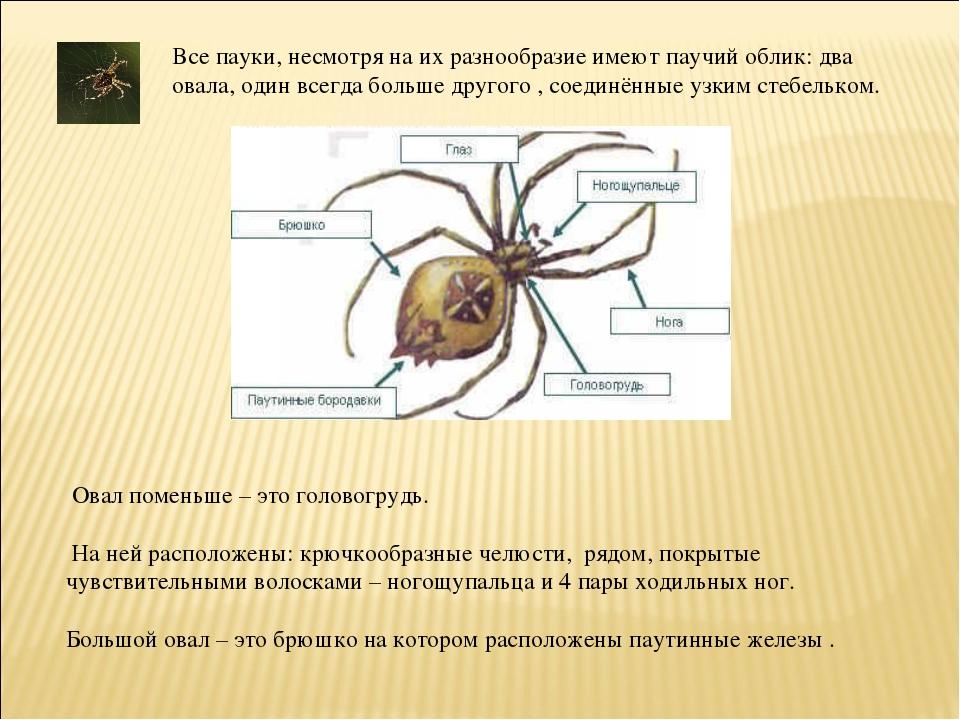 Все пауки, несмотря на их разнообразие имеют паучий облик: два овала, один вс...