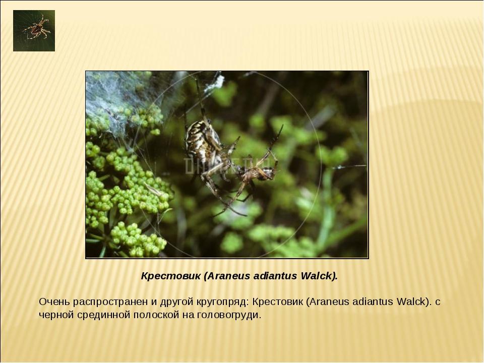 Очень распространен и другой кругопряд: Крестовик (Araneus adiantus Walck). с...
