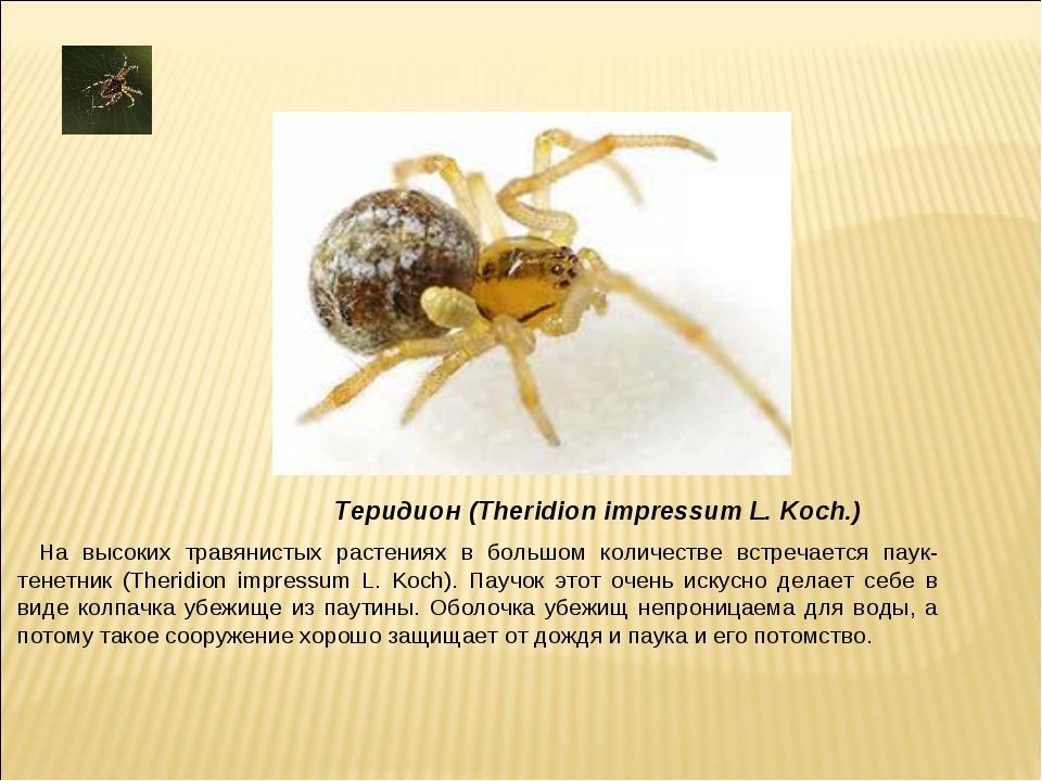 . На высоких травянистых растениях в большом количестве встречается паук-тене...