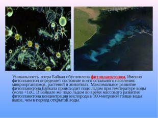 Уникальность озера Байкал обусловлена фитопланктоном. Именно фитопланктон оп