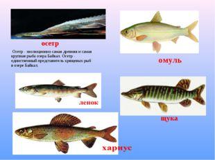 Осетр - эволюционно самая древняя и самая крупная рыба озера Байкал. Осетр -