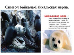 Символ Байкала-Байкальская нерпа. Байкальская нерпа - единственный представит