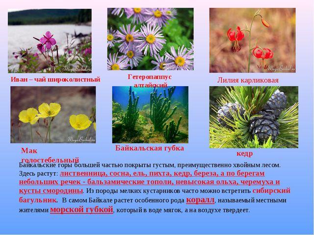 Байкальские горы большей частью покрыты густым, преимущественно хвойным лесом...