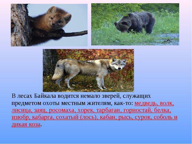 В лесах Байкала водится немало зверей, служащих предметом охоты местным жител...