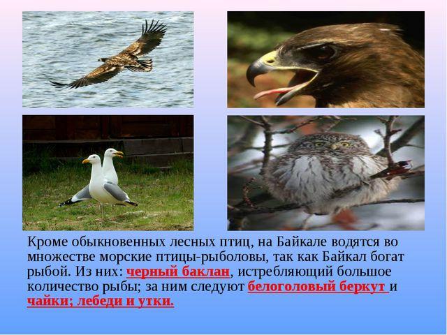 Кроме обыкновенных лесных птиц, на Байкале водятся во множестве морские птиц...