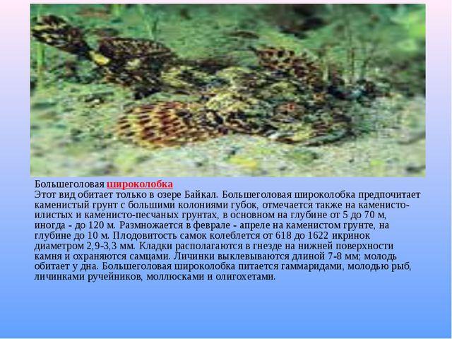 Большеголовая широколобка Этот вид обитает только в озере Байкал. Большеголо...