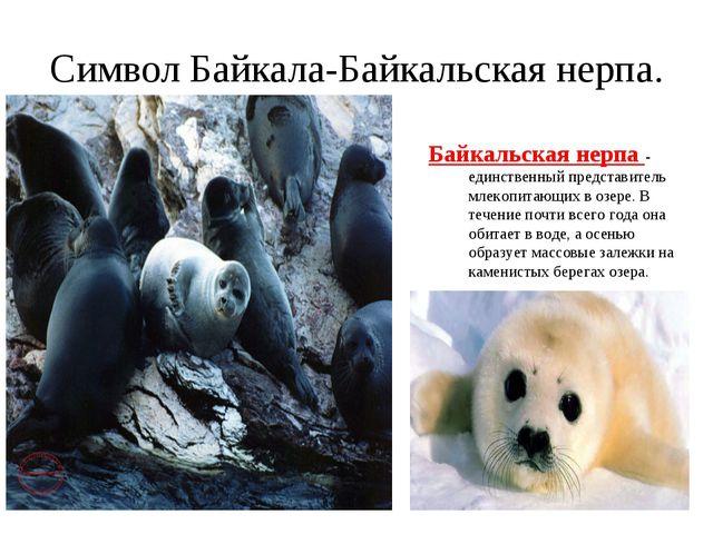 Символ Байкала-Байкальская нерпа. Байкальская нерпа - единственный представит...