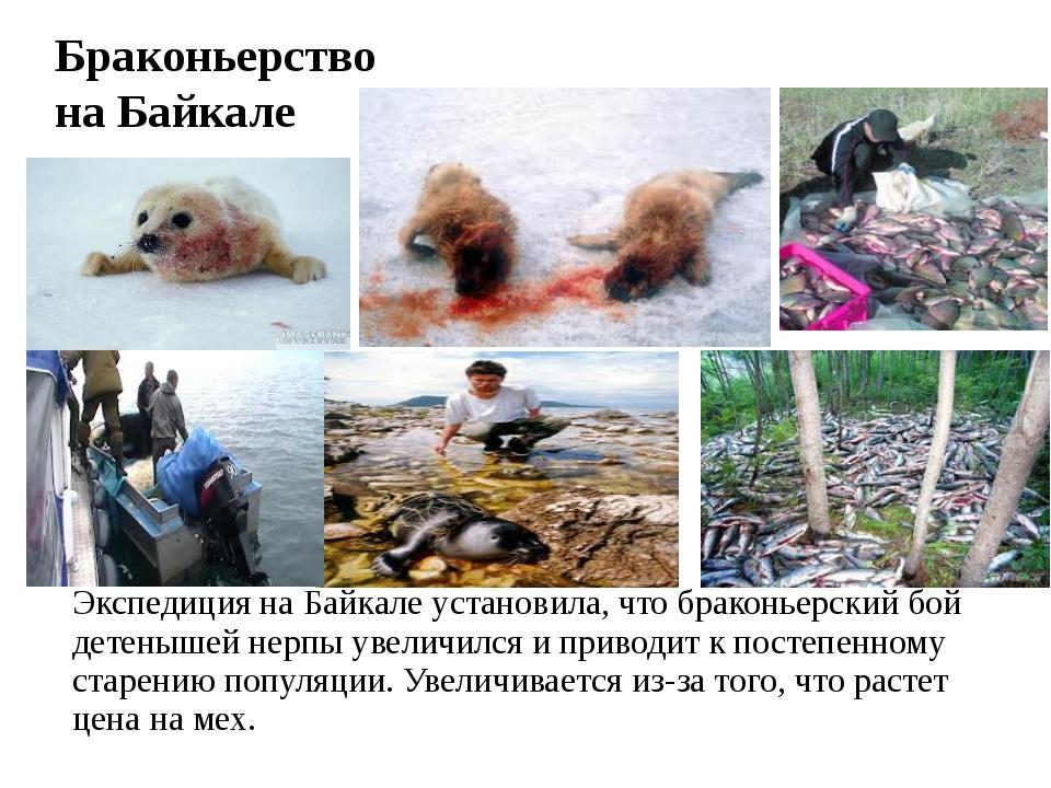 Браконьерство на Байкале Экспедиция наБайкале установила, что браконьерский...
