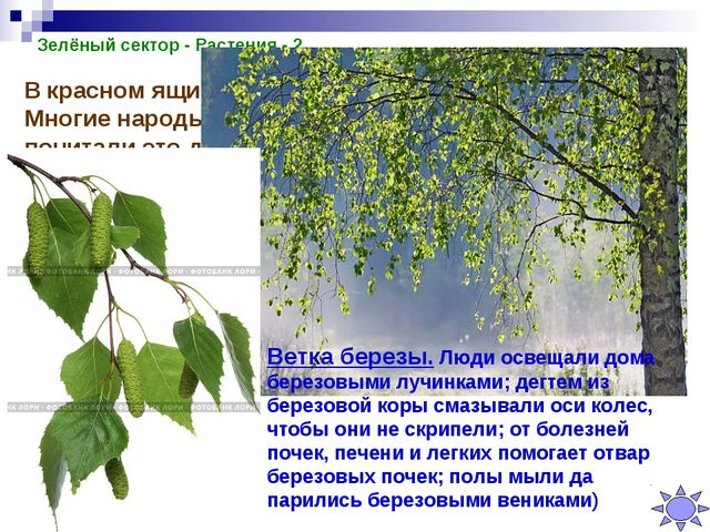 Зелёный сектор - Растения - 2 В красном ящике лежит ветка этого дерева. Многи...
