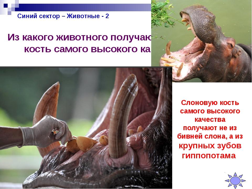 Синий сектор – Животные - 2 Из какого животного получают слоновую кость самог...