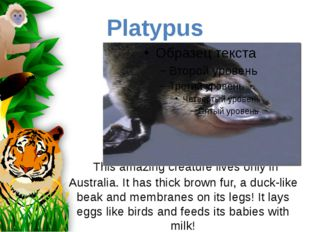 This amazing creature lives only in Australia. It has thick brown fur, a duc