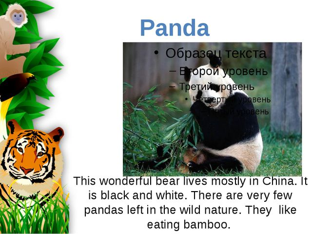 This wonderful bear lives mostly in China. It is black and white. There are v...