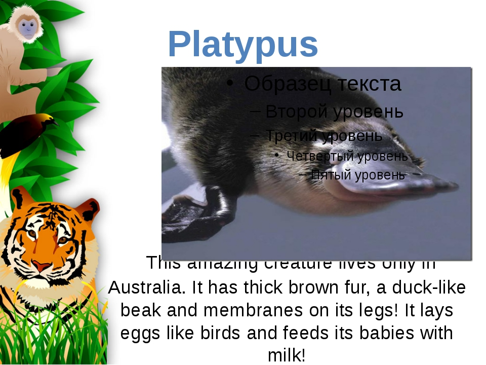 This amazing creature lives only in Australia. It has thick brown fur, a duc...