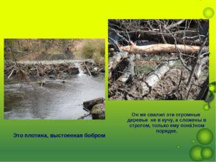 Это плотина, выстоенная бобром Он же свалил эти огромные деревья не в кучу, а