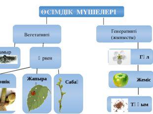 ӨСІМДІК МҮШЕЛЕРІ Вегетативті Генеративті (жынысты) Тамыр Өркен Бүршік Жапырақ
