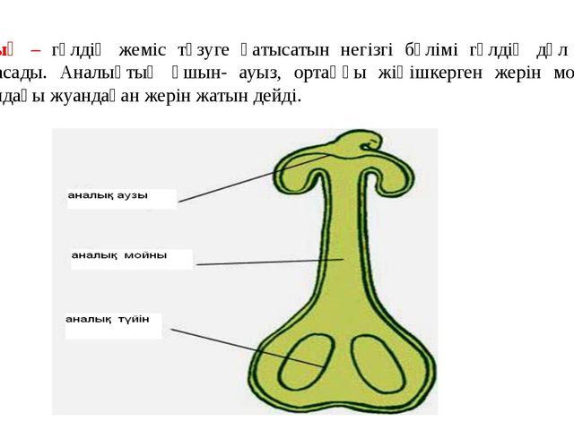 Аналық – гүлдің жеміс түзуге қатысатын негізгі бөлімі гүлдің дәл ортасына орн...