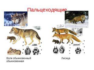 Пальцеходящие Волк обыкновенный Лисица обыкновенная
