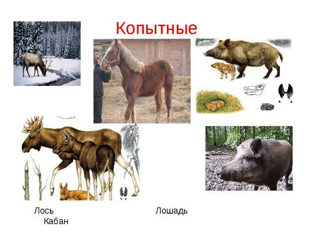Копытные Лось Лошадь Кабан