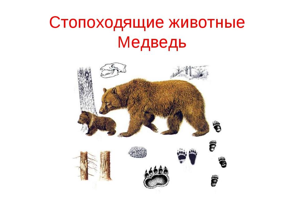 Стопоходящие животные Медведь