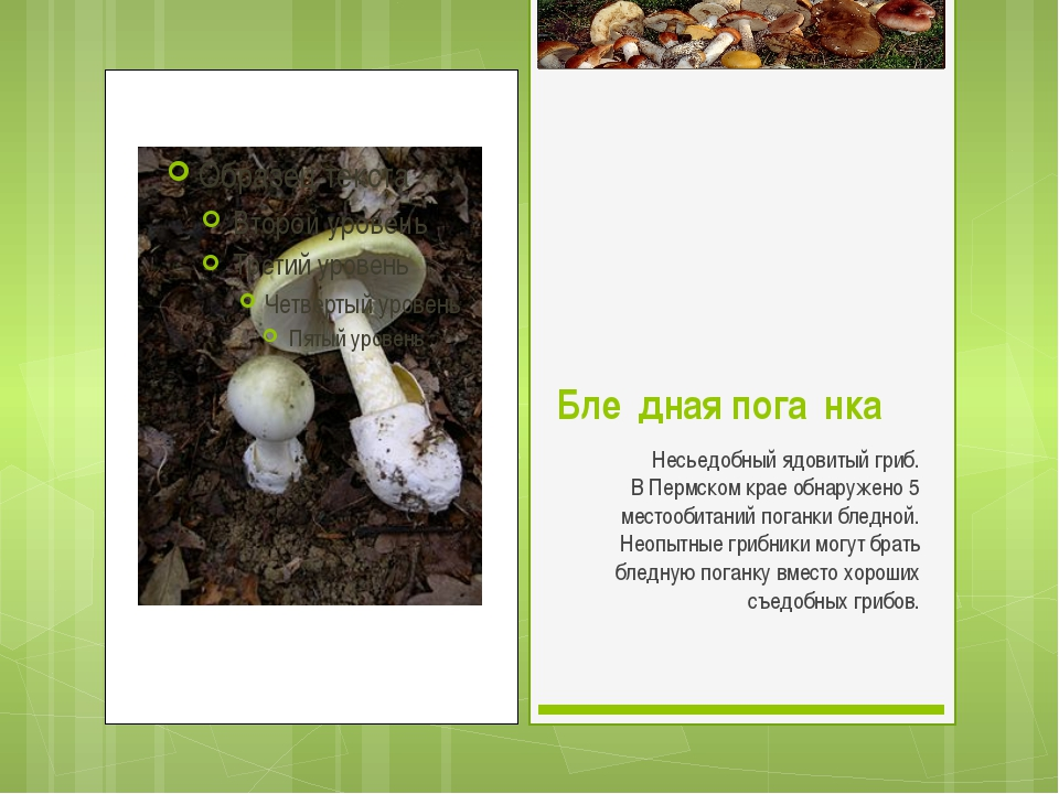 Бле́дная пога́нка Несьедобный ядовитый гриб. В Пермском крае обнаружено 5 мес...