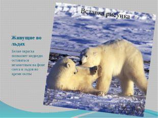 Живущие во льдах Белая окраска позволяет медведю оставаться незаметным на фон