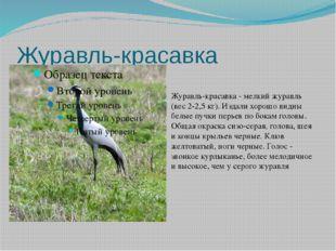 Журавль-красавка Журавль-красавка - мелкий журавль (вес 2-2,5 кг). Издали хор