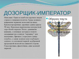 ДОЗОРЩИК-ИМПЕРАТОР Описание: Один из наиболее крупных видов стрекоз с мощным