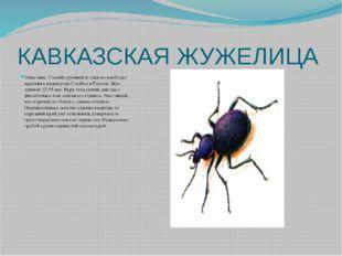 КАВКАЗСКАЯ ЖУЖЕЛИЦА Описание: Самый крупный и один из наиболее красивых видов