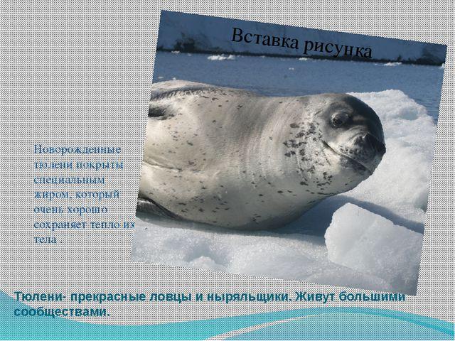 Тюлени- прекрасные ловцы и ныряльщики. Живут большими сообществами. Новорожде...