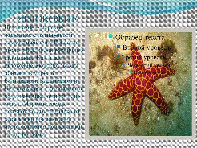 ИГЛОКОЖИЕ Иглокожие – морские животные с пятилучевой симметрией тела. Извест...