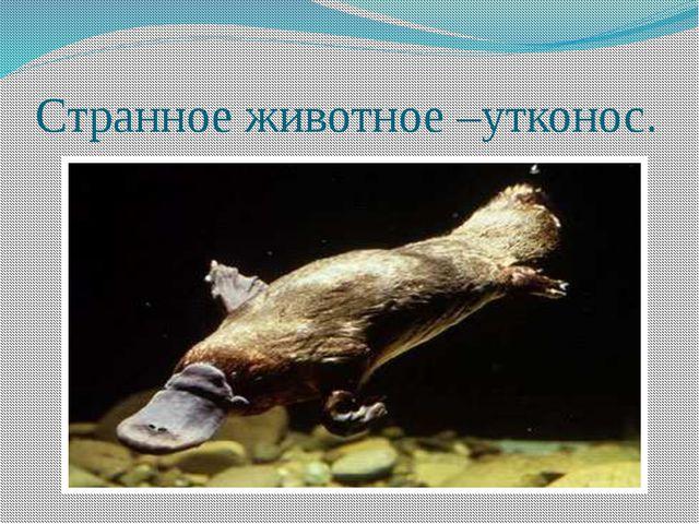 Странное животное –утконос.