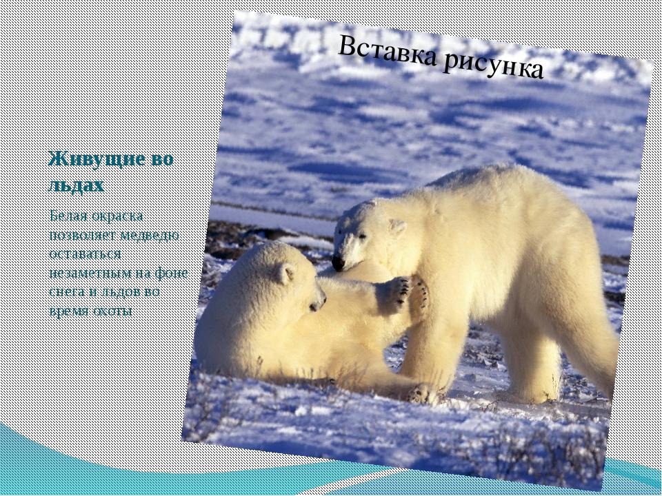 Живущие во льдах Белая окраска позволяет медведю оставаться незаметным на фон...