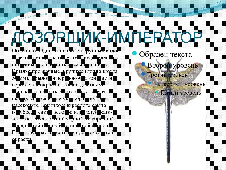 ДОЗОРЩИК-ИМПЕРАТОР Описание: Один из наиболее крупных видов стрекоз с мощным...
