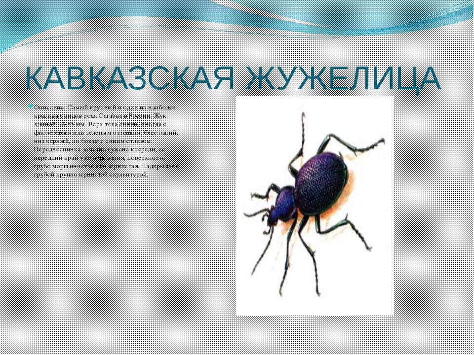 КАВКАЗСКАЯ ЖУЖЕЛИЦА Описание: Самый крупный и один из наиболее красивых видов...