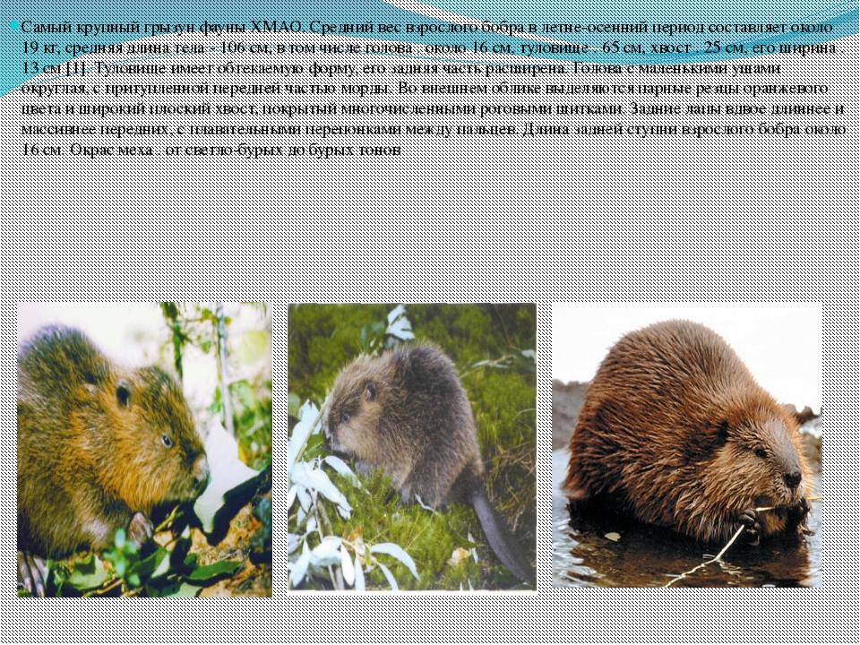 Самый крупный грызун фауны ХМАО. Средний вес взрослого бобра в летне-осенний...