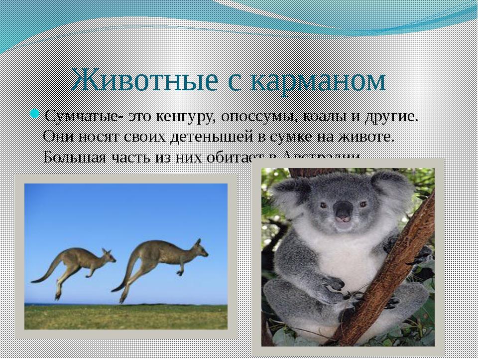 Животные с карманом Сумчатые- это кенгуру, опоссумы, коалы и другие. Они нос...