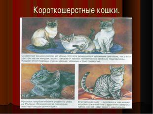 Короткошерстные кошки.