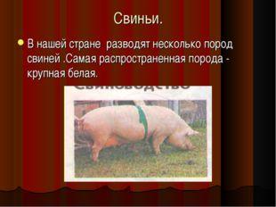 Свиньи. В нашей стране разводят несколько пород свиней .Самая распространенна