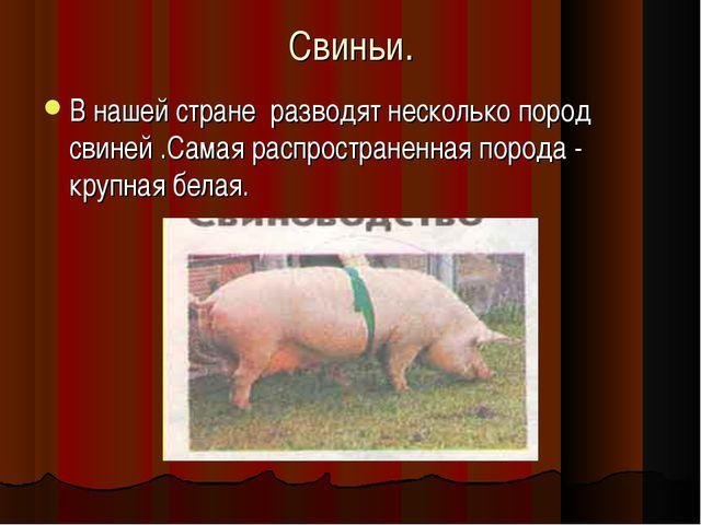 Свиньи. В нашей стране разводят несколько пород свиней .Самая распространенна...