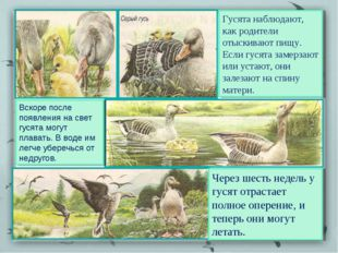 Гусята наблюдают, как родители отыскивают пищу. Если гусята замерзают или уст