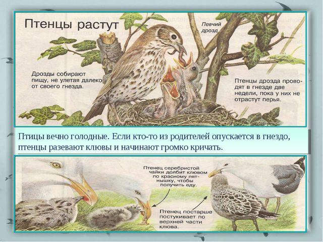 Птицы вечно голодные. Если кто-то из родителей опускается в гнездо, птенцы ра...
