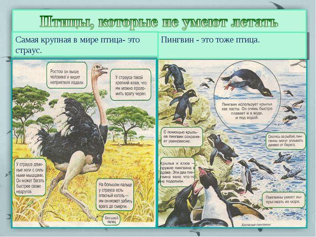 Самая крупная в мире птица- это страус. Пингвин - это тоже птица.